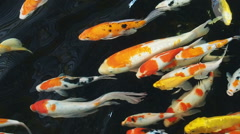 Fancy carp fish swim in pond. - stock footage