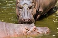 Stock Photo of Hippopotamus in Water