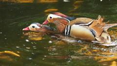Couple Mandarin duck. Stock Footage