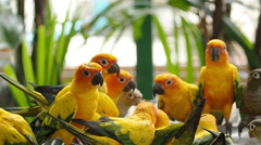 Close up Cute Sun Conure parrot bird. Stock Footage