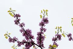 Judas Tree Flower - stock photo
