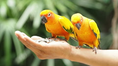 Close up Cute Sun Conure parrot bird. Stock Footage