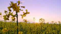 Beautiful Canola Field Stock Footage