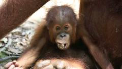 Mother and baby orangutan in rain forest Stock Footage
