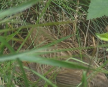 Skylark (alauda arvensis) feeding hatchlings in grass nest on the ground Stock Footage