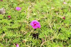 Pink flower,Common Purslane, portulaca flowers, Verdolaga, Pigweed, Little Ho Stock Photos