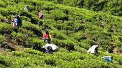 Women from Sri Lanka harvested tea leaves 4k Stock Footage