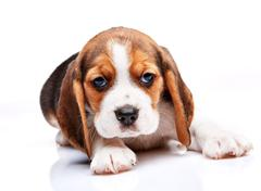 Stock Photo of Beagle puppy on white background
