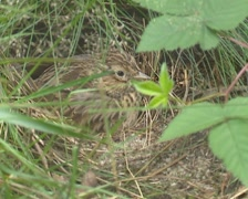 Skylark (alauda arvensis) breeding, or sits on nest to keep the hatchlings warm Stock Footage