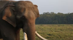 Slow Motion of Elephant Wiggling Ears and Trunk. Stock Footage