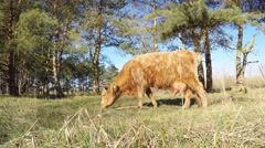 Heck cattle grazing - stock footage