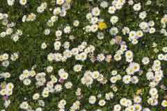 Daises in the field.Spring flowers Stock Photos