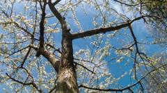 Springtime buds on Plum Tree Stock Footage