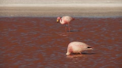 Laguna Colorada (Red Lagoon) with Flamingos in the Andes of Bolivia Stock Footage