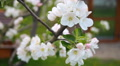 blooming apple trees in the garden HD Footage