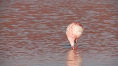 Laguna Colorada (Red Lagoon) with Flamingos in the Andes of Bolivia - stock footage