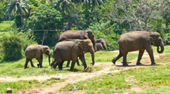 Group of Elephants walking in Sri Lanka 4k - stock footage