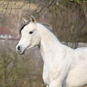 White arabian stallion running - stock photo