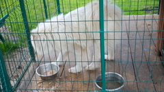 Guard dog, white Samoyed husky in the aviary 002 Stock Footage