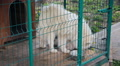 guard dog, white Samoyed husky in the aviary Footage