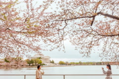 Washington dc cherry blossoms Stock Footage