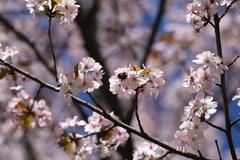 Photo cherry blossoms Stock Illustration