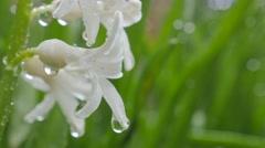 White Hyacinthus orientalis  flower under waterdrops  shallow DOF 4K 3840X216 Stock Footage