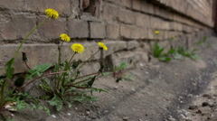 Yellow dandelion flowers with leaves Stock Footage