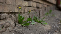 Yellow dandelion flowers with leaves - stock footage
