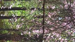 Cherry Blossoms - Sakura flowers, 4k Spring flower footage 2015 Stock Footage