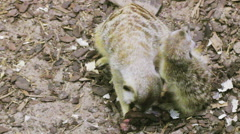 Meerkat with his cub eating raw meat Stock Footage