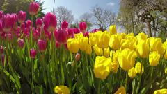 Overfly a variety of yellow & pink tulips - stock footage