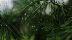 Branch of a coniferous tree with raindrops Stock Footage