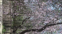 Cherry Blossoms -Sakura flowers in the springtime 4k footage 2015 Stock Footage