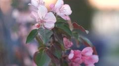 Closeup spring sakura pink flower nature background Stock Footage