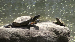 Yellow-bellied slider turtle (Trachemys scripta)/ 4k wildlife footage Stock Footage