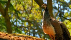 4K Peahen Female Peacock Bird Stock Footage