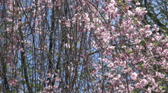 Pink Cherry Blossoms -Sakura flowers in the springtime 4k footage Stock Footage