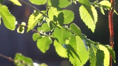 Summer or spring nature concept with green leaves backlit fhd footage Stock Footage