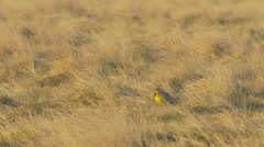 Singing Meadowlark Chased by Sharptail Grouse Stock Footage