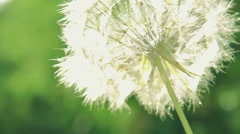 Blowing Dandelion Seed Head Flower - stock footage