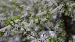 Flowering tree in early spring Stock Footage