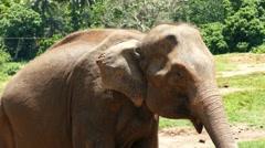 Elephant at Pinnawala in Sri Lanka 4k Stock Footage