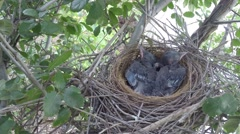 Scrub Jay chicks resting in nest V18145 - stock footage