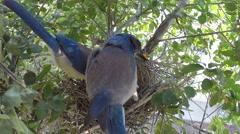 Scrub Jay afterfeeding both leave V17944 Stock Footage