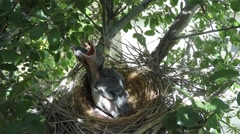 Scrub Jay chicks climbing on each other V18081 Stock Footage