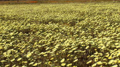 Motion Control Dolly/Pan Time Lapse of Wild Desert Dandelion -Long Shot 1- Stock Footage