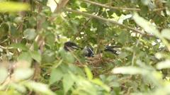 Scrub Jay all feeding male leaves (zoomed) V18161 Stock Footage