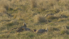 Shaprtail grouse Dance and stomp on Lek Arkistovideo