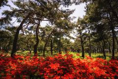 Royal Azalea among pine trees Stock Photos